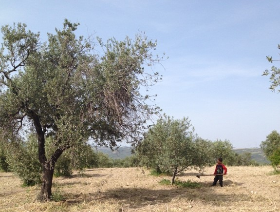 Syrian refugee child works in olive grove