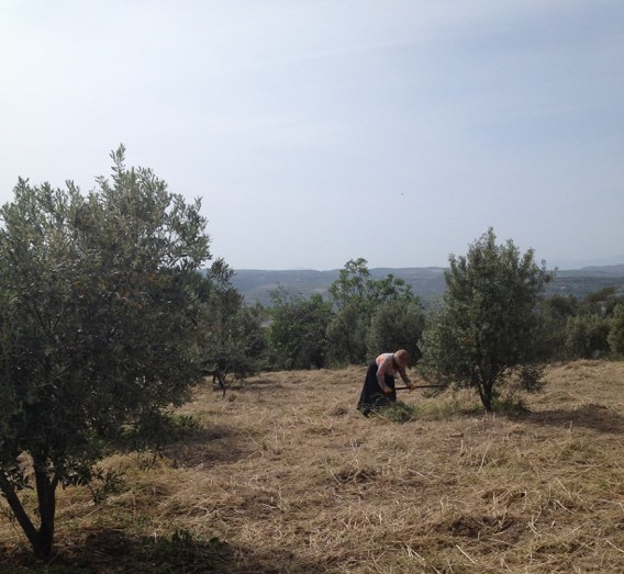 Syrian refugee woman works in olive grove
